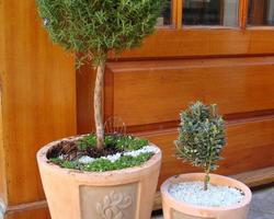 Rosemary ball topiary