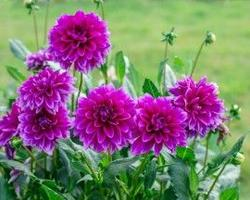 Dahlias are native to Mexico and also a member of the Asteraceae family.