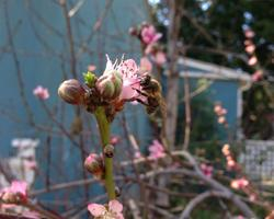 Peach blossoms and a happy bee
