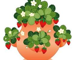 Don't let potted strawberries dry out!