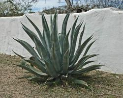 Some popular Agaves get really, really BIG!