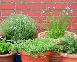 Group pots of herbs together on a sunny patio.