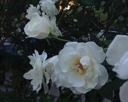 White iceberg roses bloom several times a year.