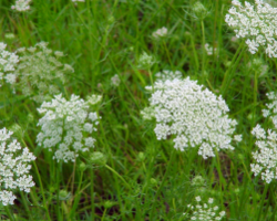 Try Queen Anne's Lace in the vase as filler flowers.